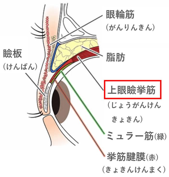 挙筋腱膜 上眼瞼挙筋