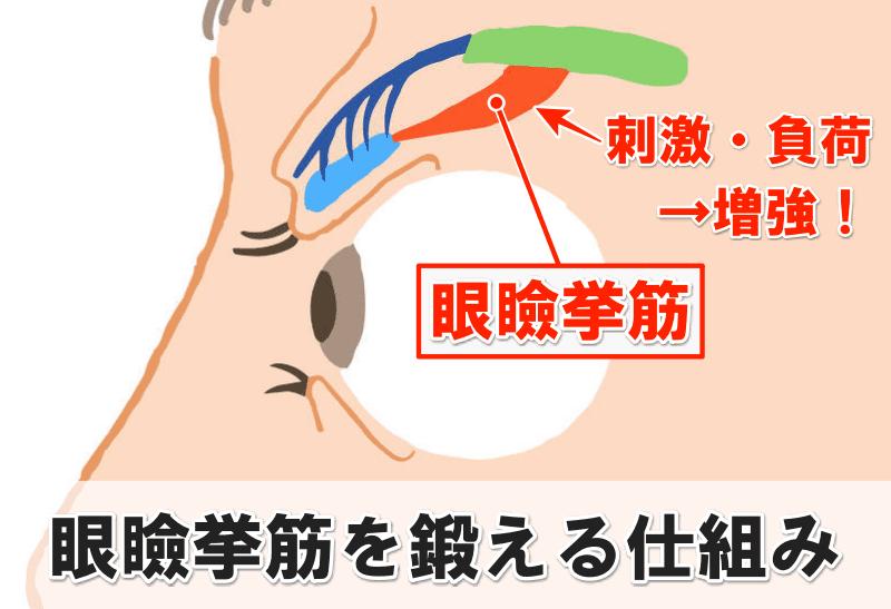 眼瞼挙筋 鍛える仕組み